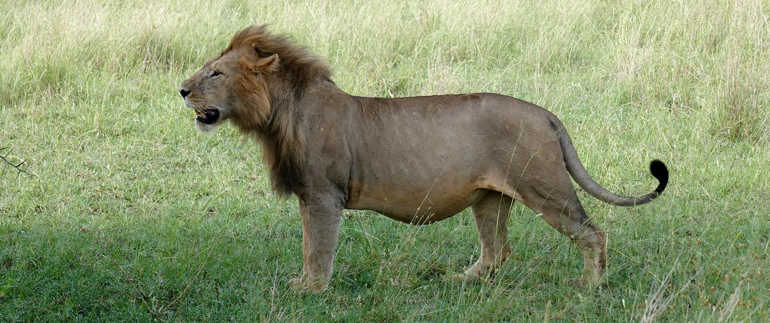 Serengeti lion