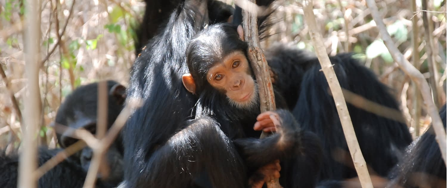 Gombe Young Chimp