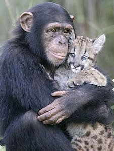 chimpanzee-gets-ocelot-time
