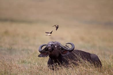 Buffel en Red Billed Oxpecker