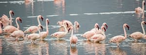 Flamingo's Lake Natron