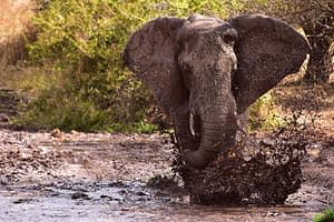 Serengeti running elephant